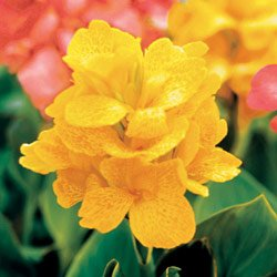 Canna Tropical Yellow - Park Seed Canna Seeds - Buy Canna Tropical Yellow - Park Seed Canna Seeds - Purchase Canna Tropical Yellow - Park Seed Canna Seeds (Park Seed, Home & Garden,Categories,Patio Lawn & Garden,Plants & Planting,Outdoor Plants,by Moisture Needs,Regular Watering)