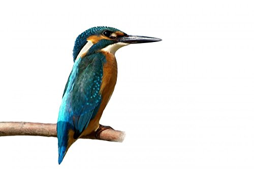 wallmonkeys-common-kingfisher-peel-and-stick-wall-decals-wm230171-24-in-w-x-16-in-h