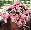 Pink Elf Hydrangea One Gallon Plant by Monrovia
