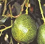 Holiday Avocado Tree--Will Arrive Between 3 and 4 Feet Tall