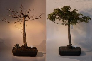 Buy Japanese Green Maple Bonsai Tree.(acer palmatum)