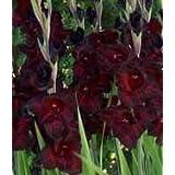 (10) Giant Flowering Black Sea Gladiolus Bulbs ,Plant, Bulb, Root, Sword Lily, Gladioli