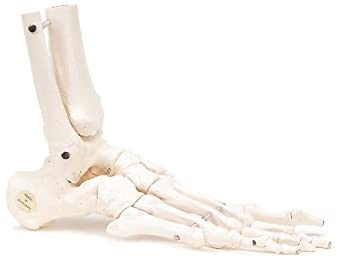 3B Scientific A31/1R Human Right Loose Foot and Ankle Skeleton