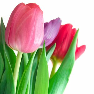 Send Fresh Cut Flowers - 50 Tulips Wholesale