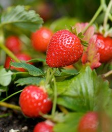 Hinterland Trading Everbearing Picnic Strawberry 40 Seeds Berry Seed Sweet and Juicy