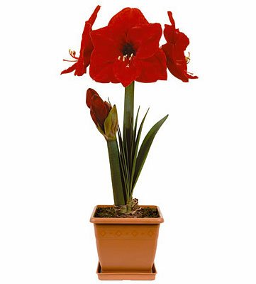 Amaryllis Kit: Red Lion with Plastic Pot/Saucer/Bulb