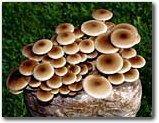 Pioppino Mushroom Growing Kit