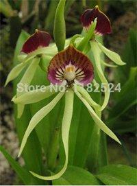 for Home Garden Planting Like Octopus Flowers Bonsai Semillas Flora