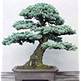 25 Colorado Blue Spruce, Picea pungens glauca, Tree Seeds EXCELLENT BONSAI SPECIMEN or Charismas Tree