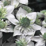 【即納】クレマチス 白万重 常緑フロリダ系 4.5号ポット苗  クレマチス苗
