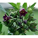 """BELLADONNA~""""Deadly Nightshade"""" Seed~1 Seed ONLY"""