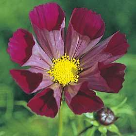"""35+ Cosmos Fluted Bi-color """"Pied Piper"""" Flower Seeds / Pest, Disease, Heat and Drought Tolerant Long Lasting Annual"""