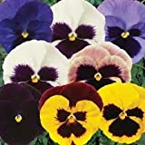 Pansy Bedding Plants - Blotch Mix x 12 (not plugs)