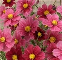 Cosmos - Antiquity - 25 Seeds