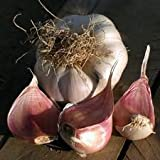 3 Bulbs New Variety Isle of Wight Seed Garlic Bulb Picardy Wight: Sow December to March