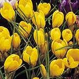 Crocus x Luteus ' Golden Yellow' - 50 x Large Spring Flowering Bulbs - Free UK P & P