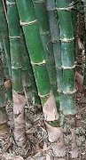 Rare Bamboo Seeds