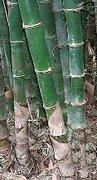 Rare Bamboo Seeds