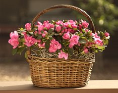 Azalea Basket in Wicker Basket-Great Gift- Ships Via 2-Day Air!