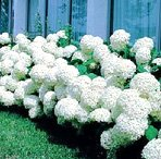 Annabelle Hydrangea Bountiful White Summer Blooms!