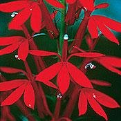 Seeds of Change S13484 Certified Organic Cardinal Flower 240 Seed Count