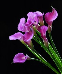 Mini Calla Lavender 60 Flowers