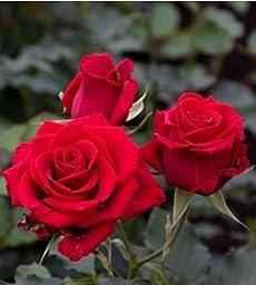 120 Real Fresh Spray Rose Fire King