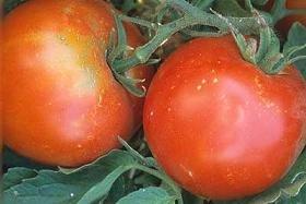 Tropic Tomato - 20 Seeds - Heat Tolerant (Heat Tolerant Tomato Seeds compare prices)