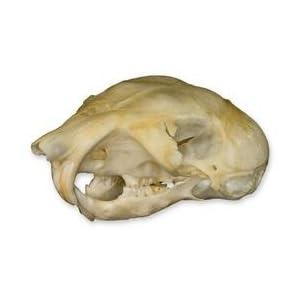 Amazon.com: Kangaroo Rat Skull (Natural Bone Quality A