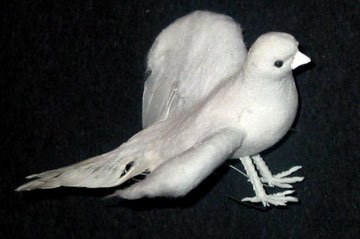 Daisy the 3 White Dove