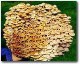 The Enokitake Mushroom Garden Patch- Indoor Mushroom Growing Kit - Grow Edible Mushrooms & Fungi. Easy & Fun Mush Room Grow Kits