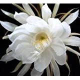 2 Epiphyllum Orchid Cactus Night Blooming Cereus Cutting