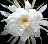 Grocery - 2 Epiphyllum Orchid Cactus Night Blooming Cereus Cutting