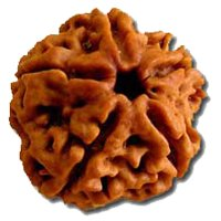 Buyrudraksha Original Nepali Five Faced Rudraksha