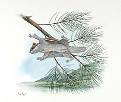 Arkansas Flying Squirrel and Short-leaf Pine Tree by Don Balke