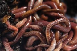 Red Wiggler Composting Worms (200)