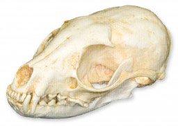 Ringtail Skull (Teaching Quality Replica)