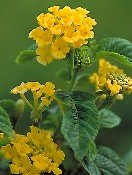 Buy Dwarf Yellow Lantana Plant One Gallon