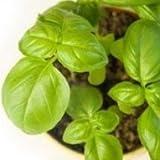 Plants Guru Sweet Basil