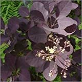 BM Plants Cotinus coggygria 'Royal Purple' AGM , 3l , Smoke Bush , Shrub