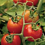 Buy Fox Cherry Tomato 50 Seeds – Organic – FREE SHIPPING ON ADDITIONAL HIRTS SEEDS