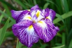 """Iris Ensata """"Hue and Cry"""" Japanese Iris - Pot Size #1 Gal. Limited Quanity"""