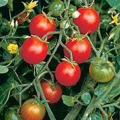 Buy Organic Peacevine Cherry Tomato 50 Seeds – High in Vitamin C- FREE SHIPPING ON ADDITIONAL HIRTS SEEDS