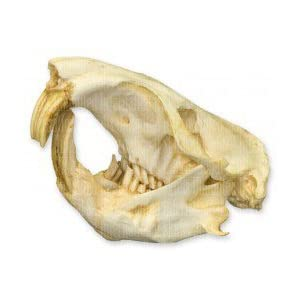 Amazon.com: Giant Pocket Gopher Skull (Teaching Quality Replica