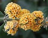 Butterfly bush (Buddleja à weyeriana Sungold)