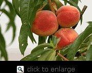 Gala Apple Tree and Elberta Peach Tree--Kid Friendly Snack Combo