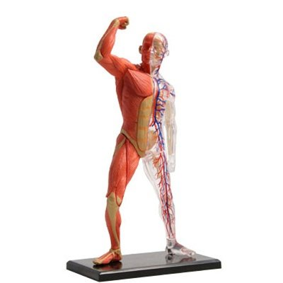 Cheap Fun 3-D Muscle & Skeleton Puzzle (B003E1O5G2)