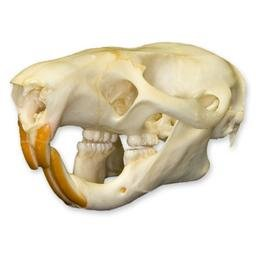Giant Pouched Rat Skull (Natural Bone Quality A)