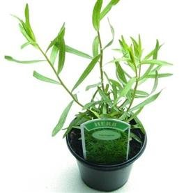 SEED BARGAINS: Herb Tarragon Russian (approx 225 Commercial Grade Seeds)