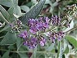 Buddleja Lochinch or Butterfly Bush Shrub